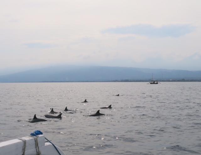 Delfiner ud for Lovina